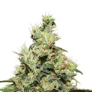 Hanfsamen & Cannabissamen online bestellen